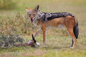 wild dog eating food