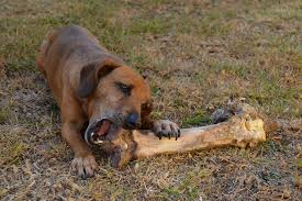 dog eating bone
