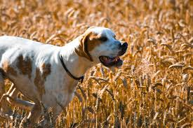wheat and dog