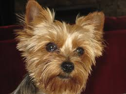 Smokehouse Dog Treats -yorkshire terrier
