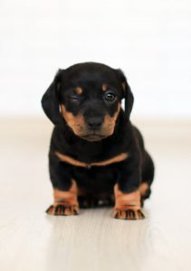 large puppy