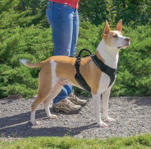 EzyDog Chest Plate Harness - Dog with Harness